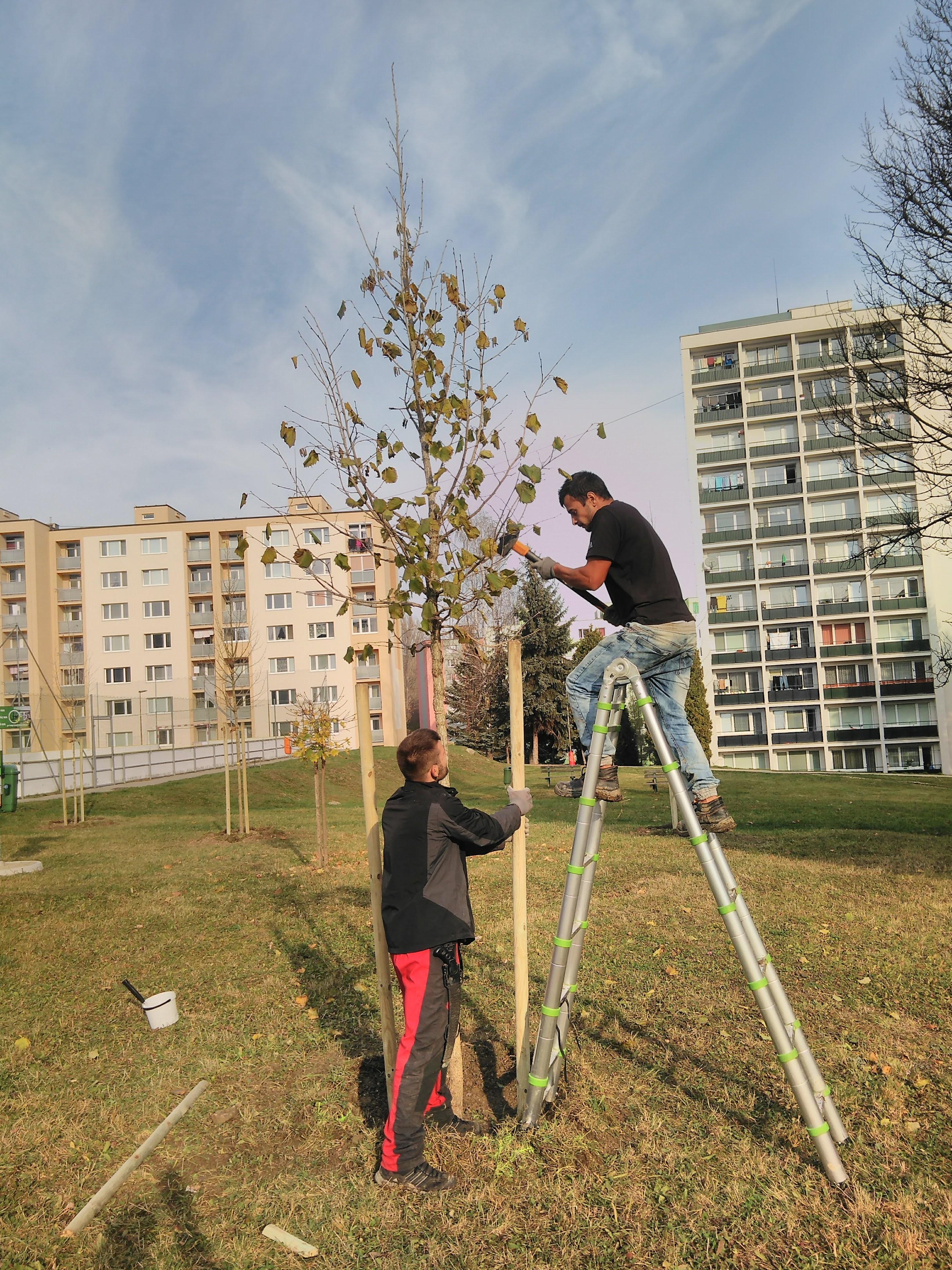 Handlová výsadba vzrastlých alejových stromov